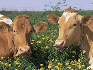 Pair of Guernsey Cows (Bos Taurus) Wisconsin, USA by Lynn M. Stone