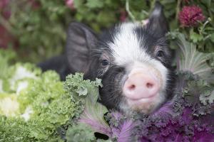 Pig by Lynn M. Stone