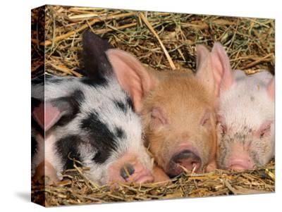 Piglets Sleeping, USA