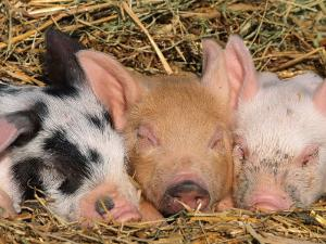 Piglets Sleeping, USA by Lynn M. Stone