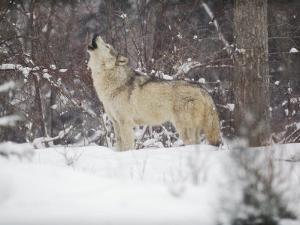 Portrait of Grey Wolf Howling in the Snow by Lynn M^ Stone