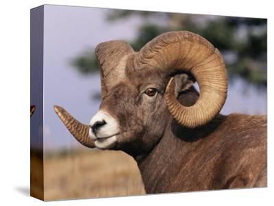 Rocky Mountain Bighorn Sheep, Ram, Jasper National Park, Alberta, USA