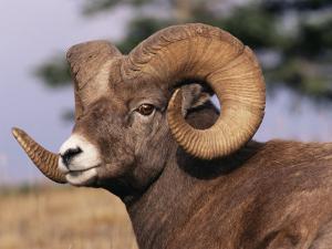 Rocky Mountain Bighorn Sheep, Ram, Jasper National Park, Alberta, USA by Lynn M. Stone