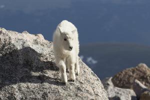 Rocky Mountain Goat by Lynn M. Stone