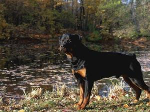 Rottweiler Dog, Illinois, USA by Lynn M. Stone