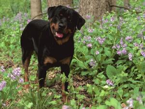 Rottweiler Dog in Woodland, USA by Lynn M. Stone