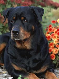 Rottweiler Dog Portrait, Illinois, USA by Lynn M. Stone