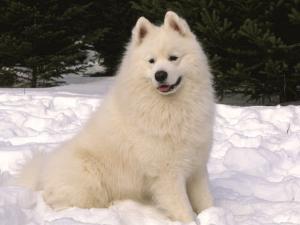 Samoyed Dog in Snow, USA by Lynn M^ Stone