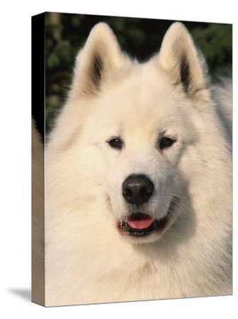 Samoyed Dog, USA