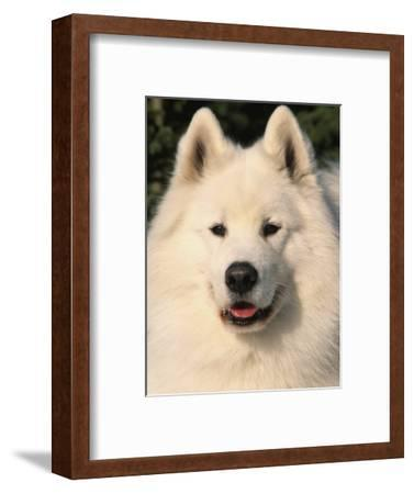 Samoyed Dog, USA
