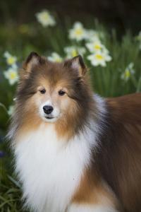 Shetland Sheepdog by Lynn M. Stone