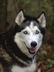 Siberian Husky Dog, USA by Lynn M. Stone