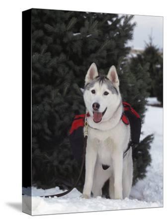 Siberian Husky on Lead Carrying a Bag, USA