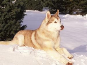 Siberian Husky Resting in Snow, USA by Lynn M. Stone