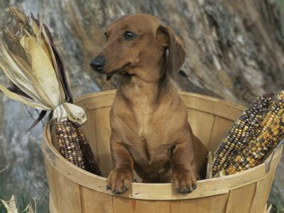 Smooth Haired Dachshund Dog (Canis Familiaris) by Lynn M^ Stone
