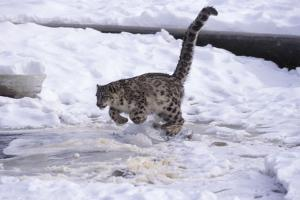 Snow Leopard Jumping (Panthera Uncia) Usa by Lynn M. Stone