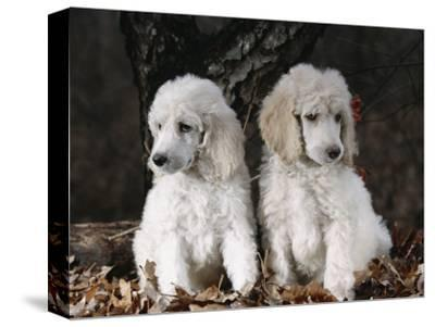 Standard Poodle Dog Puppies, USA