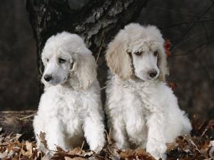 Standard Poodle Dog Puppies, USA by Lynn M. Stone