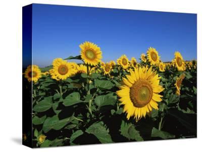 Sunflowers, Illinois, USA