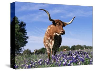 Texas Longhorn Cow, in Lupin Meadow, Texas, USA