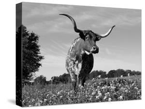 Texas Longhorn Cow, in Lupin Meadow, Texas, USA by Lynn M. Stone