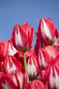 Tulips by Lynn M^ Stone