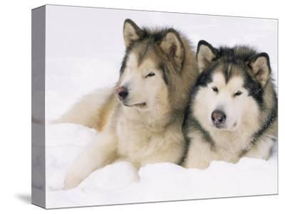 Two Alaskan Malamute Dogs, USA
