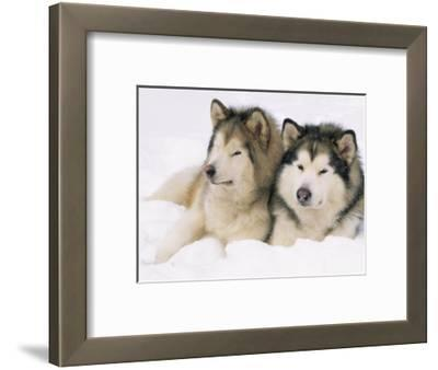 Two Alaskan Malamute Dogs, USA