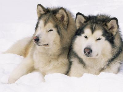 Two Alaskan Malamute Dogs, USA by Lynn M. Stone