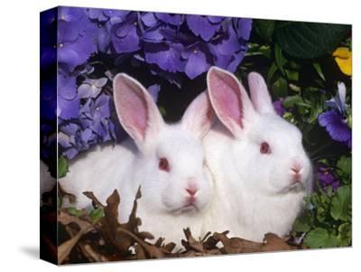 Two Albino New Zealand Domestic Rabbits, USA