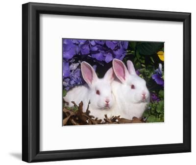 Two Albino New Zealand Domestic Rabbits, USA