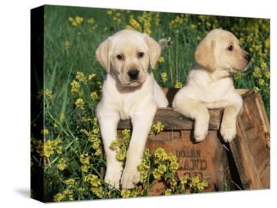 Two Labrador Retriever Puppies, USA
