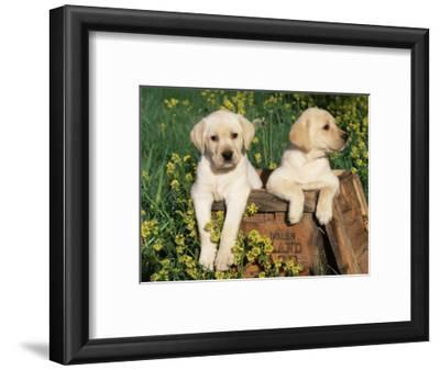 Two Labrador Retriever Puppies, USA