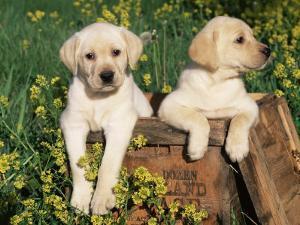 Two Labrador Retriever Puppies, USA by Lynn M. Stone