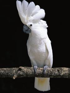 White or Umbrella Cockatoo by Lynn M. Stone