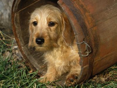 Wire Haired Dachshund, Portrait in Wooden Barrel by Lynn M. Stone