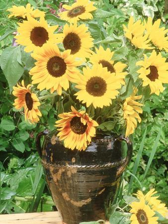 Helianthus (Sunflower) in Brown Glazed Jug, with Delphinium, on Table