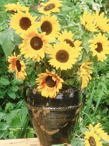 Helianthus (Sunflower) in Brown Glazed Jug, with Delphinium, on Table by Lynne Brotchie