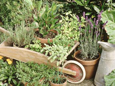 Herbs in Pots Rosemary/Bay/Marjoram Sage, Wheelbarrow & Metal Jug