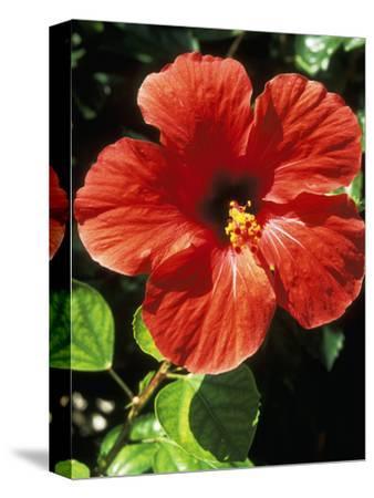 Hibiscus Rosa, Sinensis (Chinese Hibiscus), September