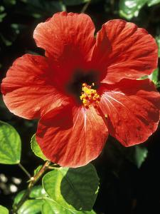 Hibiscus Rosa, Sinensis (Chinese Hibiscus), September by Lynne Brotchie