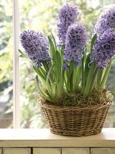 Hyacinthus (Hyacinth) in Basket on Windowsill by Lynne Brotchie