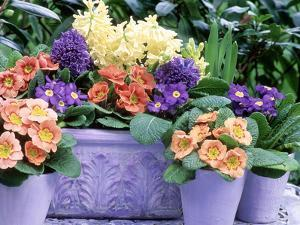Hyacinthus Orientalis (Hyacinth) and Primula Polyantha (Polyanthus) in Container and in Pots by Lynne Brotchie