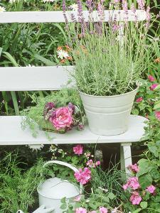 "Lavandula Angustifolia ""Munstead"" in Bucket on Bench Impatiens, Watering Can Wimbledon 1994 by Lynne Brotchie"