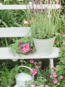 """Lavandula Angustifolia """"Munstead"""" in Bucket on Bench Impatiens, Watering Can Wimbledon 1994 by Lynne Brotchie"""