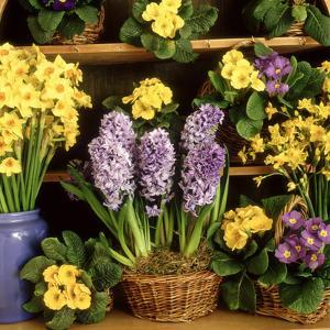 Spring Flower Arrangement Primula (Polyanthus), Narcissus, Hyacinthus by Lynne Brotchie