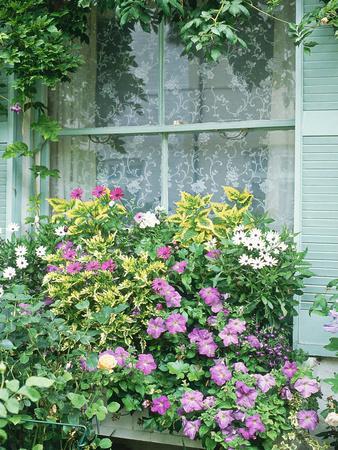 Summer Window Box, Petunia, Osteopermum, Window, Shutter, Lace Curtain