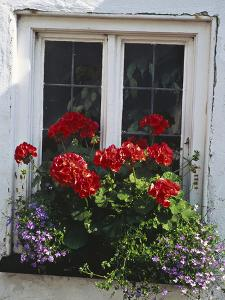 Window Box with Pelargonium & Lobelia, White Painted Wall Clovelly, Devon by Lynne Brotchie