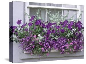 Window Box with Pelargoniums Argyranthemum, Lobelia by Lynne Brotchie