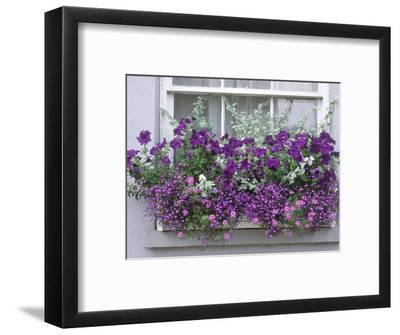 Window Box with Pelargoniums Argyranthemum, Lobelia